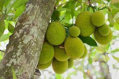 Jaca (Artocarpus integrifolia L., Moraceae) Origem: Índia