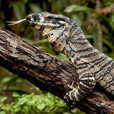 crocodile monitor | Crocodile Monitor Lizard photo ...Lace Monitor Enclosure