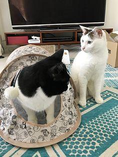 移動するシノさん | うちの猫がまた変なことしてる。【猫まんが】