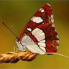 Some of my favorite butterfly images! Papillon Butterfly, Butterfly Pictures, Butterfly Kisses, Butterfly Flowers, Butterfly Wings, White Butterfly, Flying Insects, Bugs And Insects, Beautiful Bugs