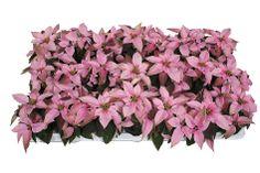 Euphorbia's Princettia soft Pink (Mini Kerststerren)