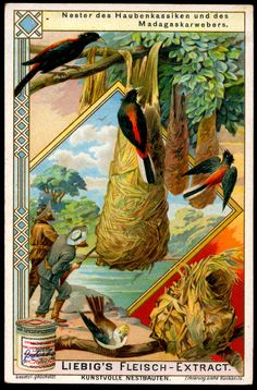 "Birds Nests ~ Madagascar Weaver Bird  Liebig's Beef Extract ""Birds Nests"" German issue, 1904."