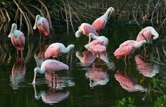 Feeding in a small pond just before sunset, a group of Roseate Spoonbills are visions in rosy pink.