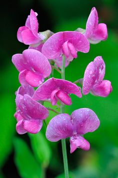 Gorgeous Sweet Pea wildflowers Lathyrus latifolia https://www.pinterest.com/halinalis/breathtaking-view/