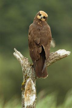 Marsh Harrier - juvenile