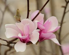 10 Japanese White Pink Magnolia Saucer Flower Seed Ornamental Plant Home Garden Tree Perennials Blooming Flowers, Botanical Flowers, Flowers Nature, Flor Magnolia, Magnolia Trees, Magnolia Flower, Japanese Magnolia Tree, Flower Structure, Rosa Pink