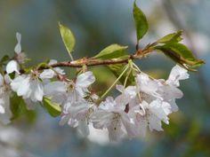 Kirschblüten – wunderbare Frühlingsbilder | Bilder, Aquarelle vom Meer & mehr - Kirschblüten (c) Frank Koebsch (6)