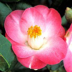 Camellia Sunny Side