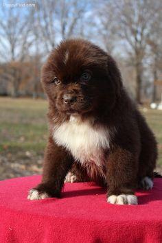Brown Newfie puppy, looks like a little bear!