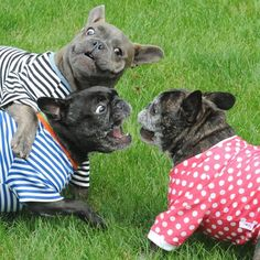 """Yay! Sunday is our Funday!""....""Aaaaargh!"", Funny French Bulldogs, by threelittlefrenchies"
