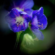 Geraniums Photograph