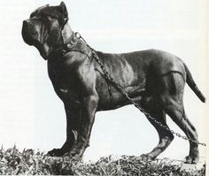 The story of the Cane Corso coincides extraordinarily with the history of the Italic peoples in all the splendor and their misery. Unfortunately this race saved in the last few years from what seem Cane Corso Mastiff, Neo Mastiff, Cane Corso Dog, English Mastiff, Cane Corso Rescue, Italian Cane Corso, Cane Corso Italian Mastiff, Huge Dogs, I Love Dogs