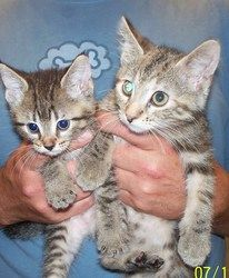 Mia and Tia is an adoptable Domestic Short Hair Cat in La Porte, IN. These little girls are about 6 weeks old and are as sweet as can be....