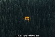 A Lonely Aspen in an Evergreen Forest - Telluride Colorado