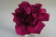 Purple Jade Orchid, Chinese rockii tree peony