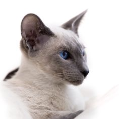 There are many reasons to love a Siamese cat from their blue eyes peering through the dark patch on their face to their high level of intelligence and energy. Description from catloversdiary.com. I searched for this on bing.com/images