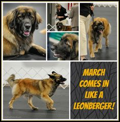 PHOTO OF THE DAY. Mar 1: March Comes in Like a Leonberger! Hope you enjoy our photos of the day. Please repin! And please visit us at www.Facebook.com/PawPrintsLife!