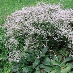 Limonium dumosa. Forms a handsome rosette of dark green leaves topped with tremendous sprays of	light silvery flowers. They dry to white and resemble Baby's Breath. Butterflies love them. Tolerates poor soil and salt spray. Grows 15-20 inches tall. Winter hardy to zone 4.