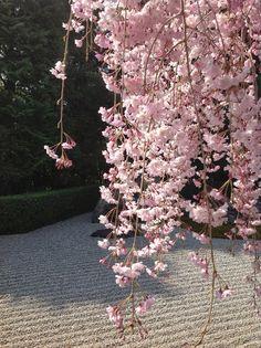 Shidare with Japanese Garden
