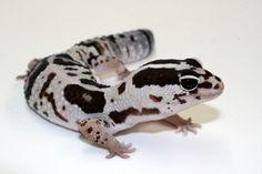 Oreo African Fat Tail Gecko for sale Oreo African fat tailed gecko for sale online where to buy african fat tail geckos for sale from Gecko breeder Lepord Gecko, Leopard Gecko Cute, Gecko Habitat, Reptile Habitat, Cute Reptiles, Reptiles And Amphibians, Geckos, Chameleons For Sale, Pets