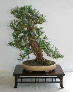 Rosmarinus officinalis, Rosmarin, Shakkan (leaning or slanting) Bonsai style