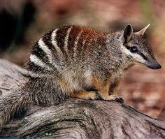 numbat feet - Google Search