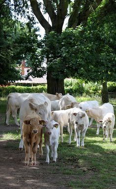 Charolais Cows & Calves: Osterley Park Farm (Home) Country Farm, Country Life, Country Living, Farm Animals, Cute Animals, Wyoming, Gado, Agriculture, Beef Cattle