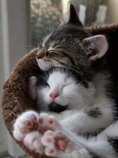 aquieterstorm: Kitten sisters' hug by Zruda on Flickr