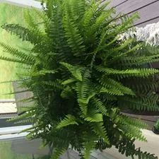 garden care backyards How to Care for Ferns: 12 Steps (with Pictures) - wikiHow