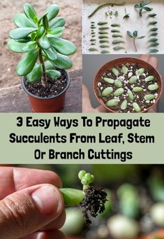 3 Easy Ways To Propagate Succulents From Leaf, Stem Or Branch Cuttings - Rural Sprout 3 Easy Ways To Propagate Succulents From Leaf, Stem Or Branch Cuttings - Rural Sprout Replanting Succulents, Propagate Succulents From Leaves, Baby Succulents, Succulent Cuttings, Types Of Succulents, Succulent Gardening, Succulent Plants, Succulent Containers, Growing Succulents From Seed