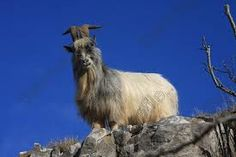 british primitive goats - Google Search