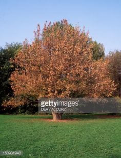 Stock Photo : Tulip Tree (Liriodendron tulipifera), Magnoliaceae. Lombardy plain, Italy.