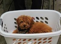 Bella - Ginger's F1 Mini Goldendoodles
