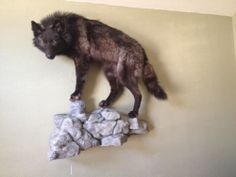 Awesome Black Timber Wolf Taxidermy Mount