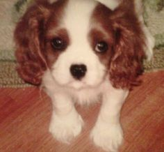 My Cavalier Lily when she was a puppy.