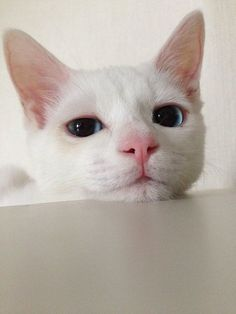 These pretty cats will warm your heart. Cats are awesome friends. Cute Cats And Kittens, I Love Cats, Crazy Cats, Cool Cats, Kittens Cutest, Pretty Cats, Beautiful Cats, Cute Funny Animals, Funny Cats