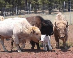 White, Brown and Blonde colored bison inspecting a new white baby calf
