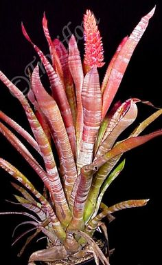 Aechmea phanerophlebia 'Rosea': click to enlarge