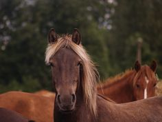 Estonian horse Race from Tihuse