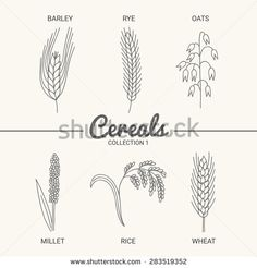 Set of six cereals. Barley, rye, oats, millet, rice and wheat in vintage style. Contour drawing vector illustration - stock vector