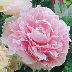 Sarah Bernhardt Double Peony (Pink) $7.49!!!!!