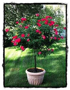 Red Double Knockout Rose Tree  ~ See the Plant Information Index for more details at kieferlandscaping.com