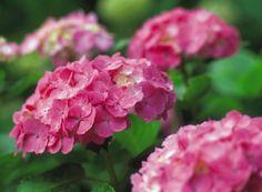 Hortensias (hydrangeas) plantación y cuidados. Las Hortensias son arbustos de fácil cultivo. En la terraza resultan ideales por su larga y espléndida floración junto con sus magníficas hojas.