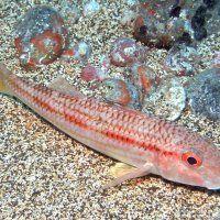 Teneriffa / Tauchen im Salzwasser / Fotos   Nies.ch Diving, Fish, Photos, Canarian Islands, Tenerife, Sevilla Spain, Scuba Diving, Ichthys