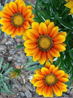 Gazania: I used to have this in my parkway. I don't like it near foot traffic…