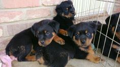 THESE ARE PAPERED ROTTWEILER PUPPIES THEY ARE BEAUTIFUL AND LOOKING FOR A FOREVER HOME I HAVE 5 BOYS AND 2 GIRLS THEY ALL ARE HEALTHY COME WITH SHOT RECORDS AND AKC PAPERS WE PAID 2500 FOR THE MOM AND DAD IM LOCATED IN FRESNO THEY ARE WORTH THE DRIVE CALL OR TEXT 559 776 224 ZERO
