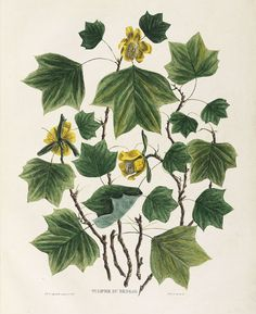 Liriodendron tulipifera - a perfect tattoo destination 4 me? :)