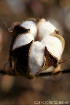 Southern Comfort, Southern Belle, Southern Charm, Southern Women, Southern Living, Foto Poster, Cotton Plant, Cotton Fields, Sweet Home Alabama