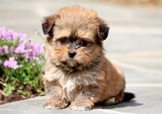 This Havanese puppy is a real doll baby who is social and full of love. He hopes that you don't mind receiving puppy kisses because he loves giving them! Havanese Puppies For Sale, Havanese Dogs, Baby Puppies, Funny Dogs, Cute Dogs, Puppy Drawing, Companion Dog, Can Dogs Eat, Dog Feeding
