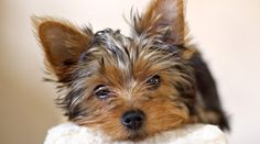 Yorkie hair is smooth and silky soft while fur-coated breeds have considerably tougher stronger guard hairs that are coarse in texture and only one length, usually under three inches. Puppy Feeding Schedule, Cute Puppies, Dogs And Puppies, Yorkie Puppy, Yorkie Hair, Pet Friendly Hotels, Yorkshire Terrier Puppies, Puppy Food, Dogs